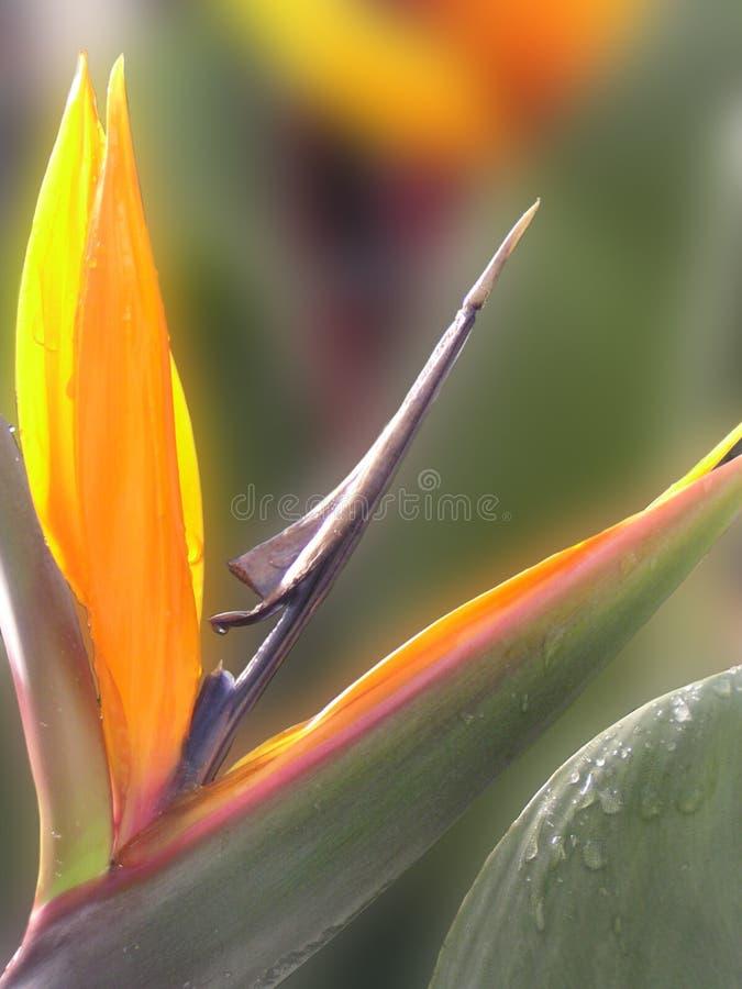 Bird of Paradise royalty free stock photos