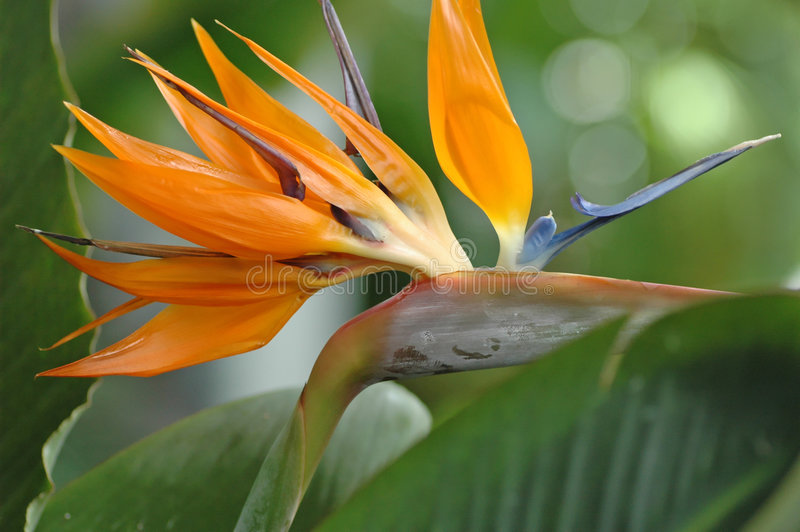 Download Bird of Paradise stock image. Image of tropical, leaves - 54669