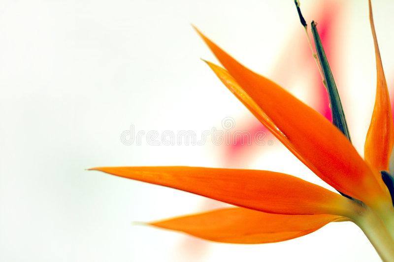 Download Bird of Paradise stock image. Image of botany, petals - 6144455