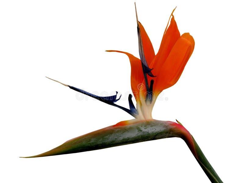 Bird of Paradise-design element stock photos
