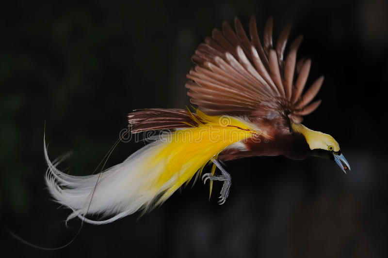 Bird of paradise in flight royalty free stock photos