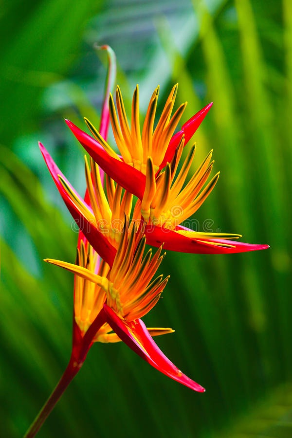 Bird of paradise flower. On blured background of palm tree leaves stock image