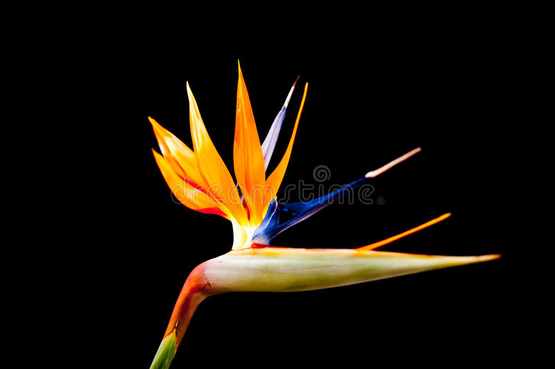 Bird of Paradise Flower. Strelitzia is a genus of five species of perennial plants, native to South Africa. The genus is named after the duchy of Mecklenburg stock photos