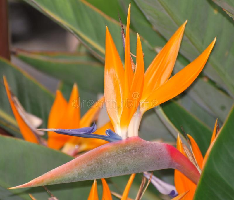 Download Bird of Paradise flower stock image. Image of healthy - 21645903