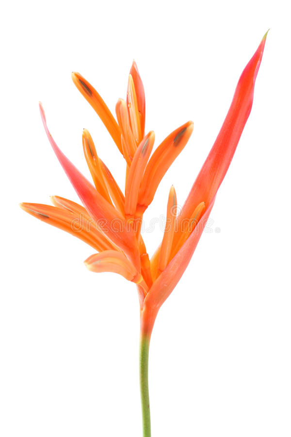Bird of paradise flower. Bird of paradise flower isolate on white background stock photo