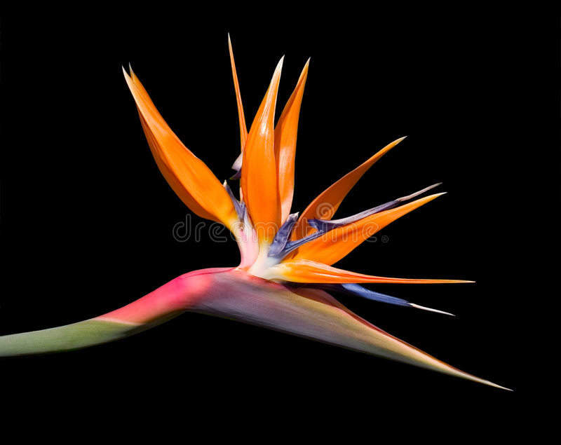 Bird of Paradise Flower stock photography