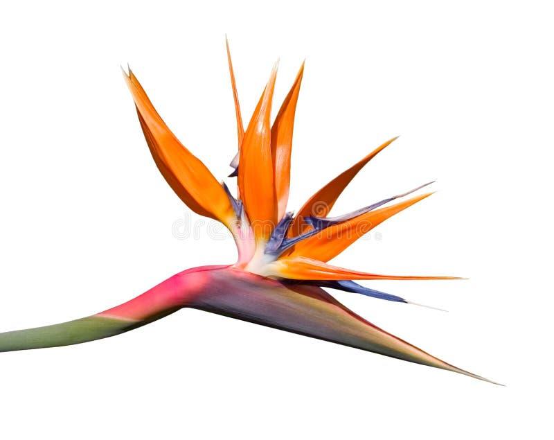 Download Bird of Paradise Flower stock photo. Image of white, horizontal - 3089072