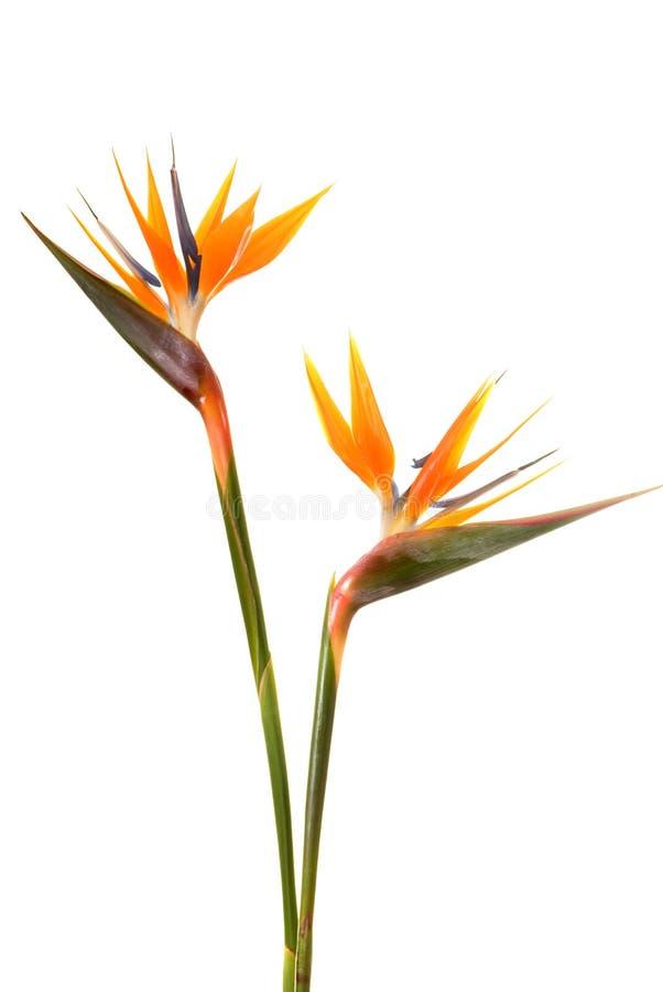Bird of paradise flower. (Strelitzia reginae) isolated on white background royalty free stock photos