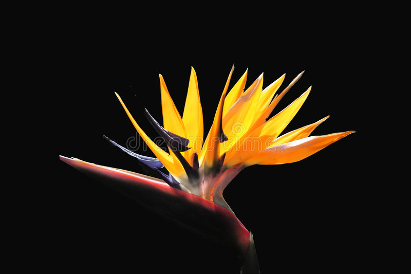Bird of Paradise flower. On black background stock images