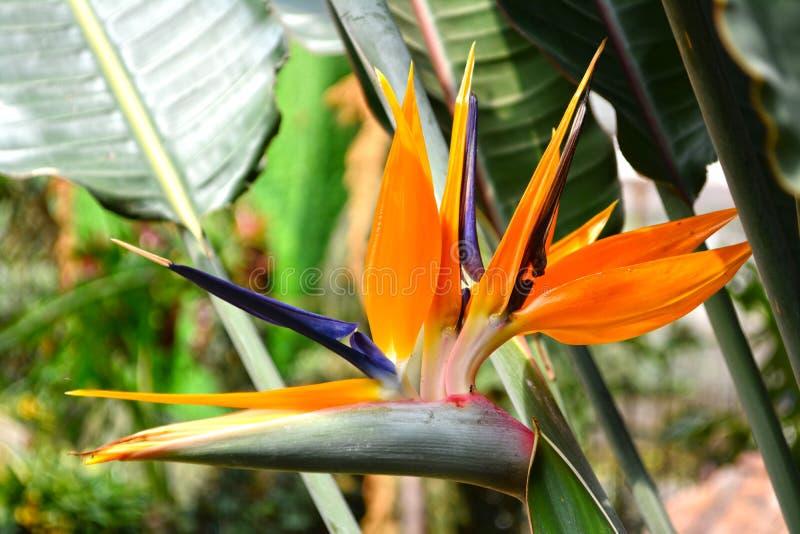 Bird of Paradise flower. Close up Bird of Paradise flower stock photo