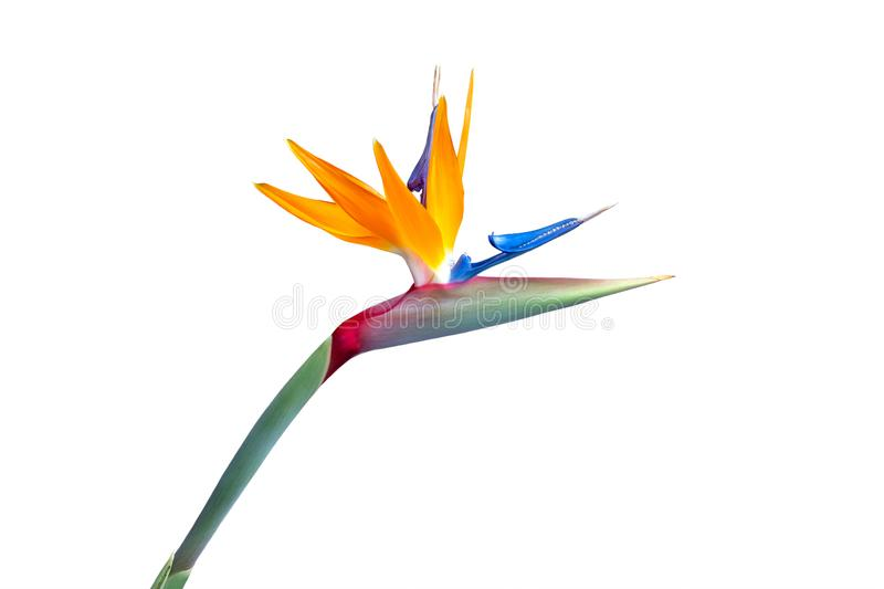 Bird of paradise flower closeup cutout. Bird of paradise flower close up with vibrant colors isolated against a white background stock images