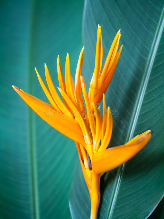 Bird of paradise flower. Closeup shot of the bird of paradise flower on green leaves stock photography