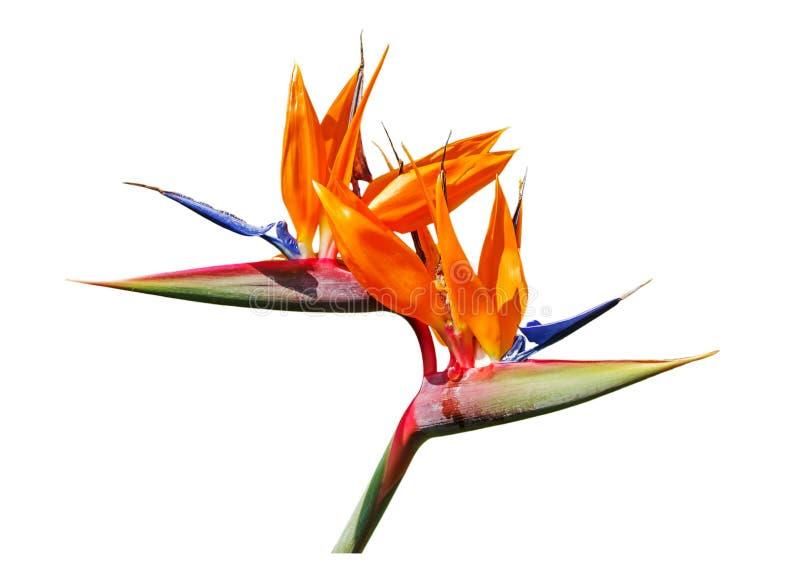 Bird of paradise flower. Colorful of Bird of paradise flower blossom isolated on white background royalty free stock photo