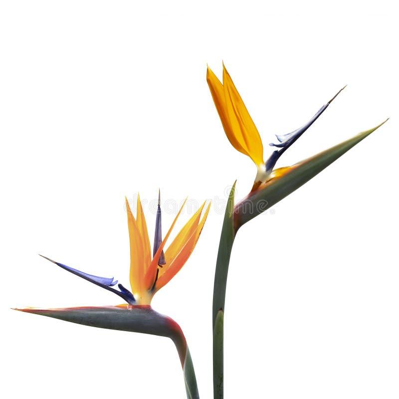 Bird of Paradise flower isolated on white. Background royalty free stock images