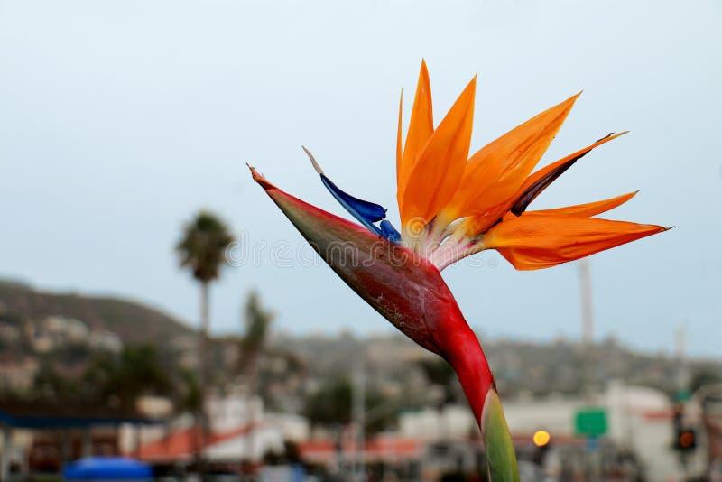 Bird of Paradise Flower at Laguna Beach, California. A Bird of Paradise flower with a defocused background photographed in Laguna Beach, California stock images