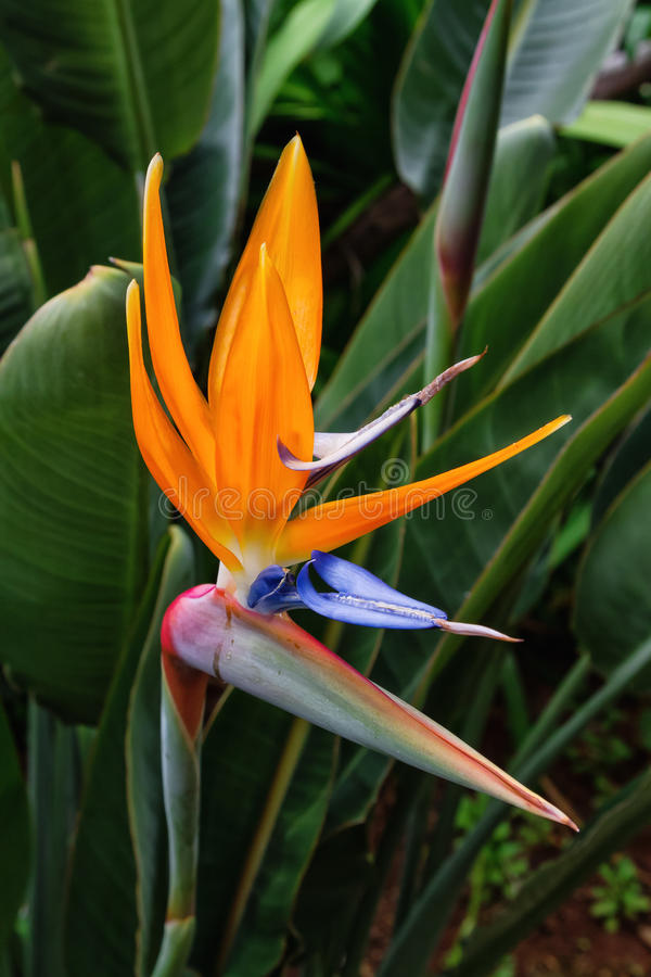 Bird of paradise flower of Madeira Island, Portugal.  stock image
