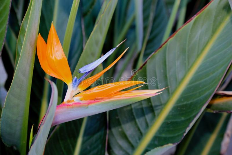 Bird of Paradise flower. Orange and purple bird of paradise flower against green leaves royalty free stock photos