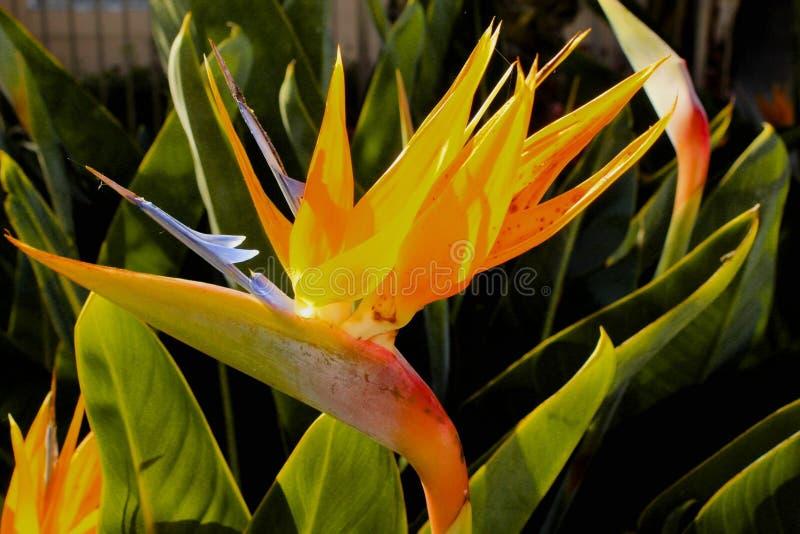 Bird of paradise flower. Orange yellow bright bird of paradise flower stock photography