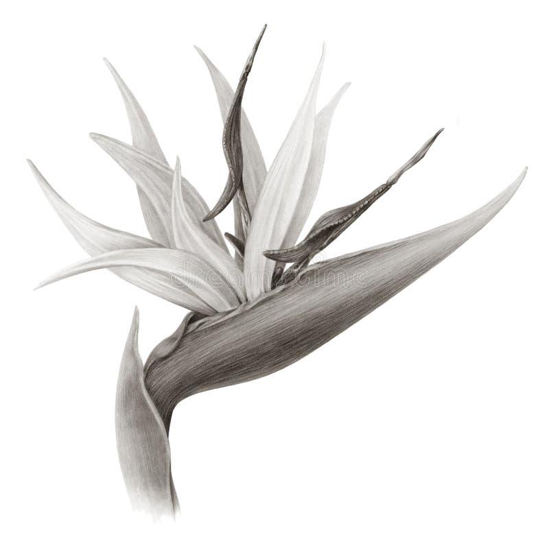 Bird of paradise flower sepia stock illustration illustration of download bird of paradise flower sepia stock illustration illustration of drawing sepia mightylinksfo