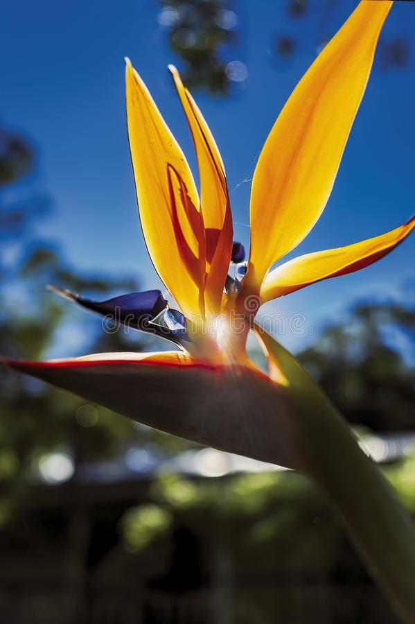 Bird of paradise flower. With small lens flare stock photos
