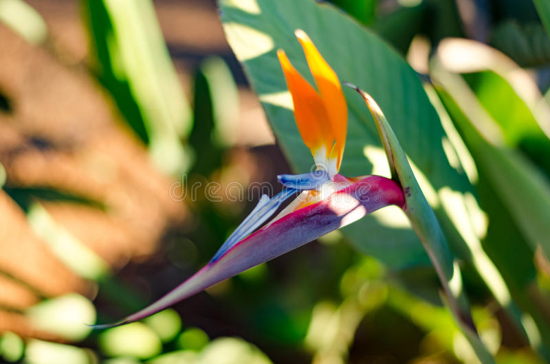 Bird of paradise flower. Strelitzia is a genus of five species of perennial plants, native to South Africa. It belongs to the plant family Strelitziaceae stock photo