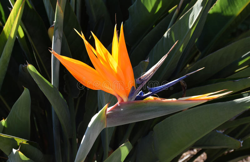 Bird of Paradise flower (Strelitzia). Image shows a Strelitzia (Bird of Paradise flower). Strelitzia is a genus of five species of perennial stock photography