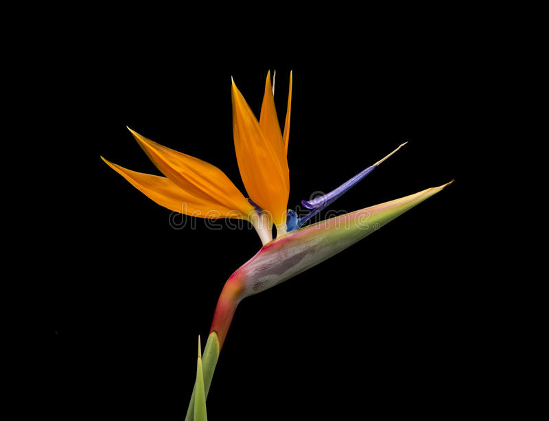 Bird of Paradise Flower, Strelitzia reginae. On black background stock photography