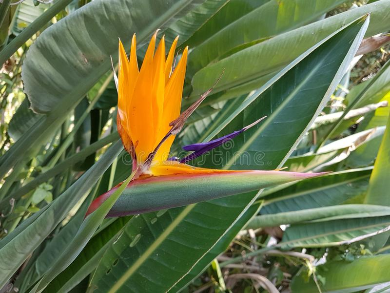 Bird of paradise flower, Strelitziaceae. In classic orange and purple blue colorswith its leaves as a background royalty free stock photo