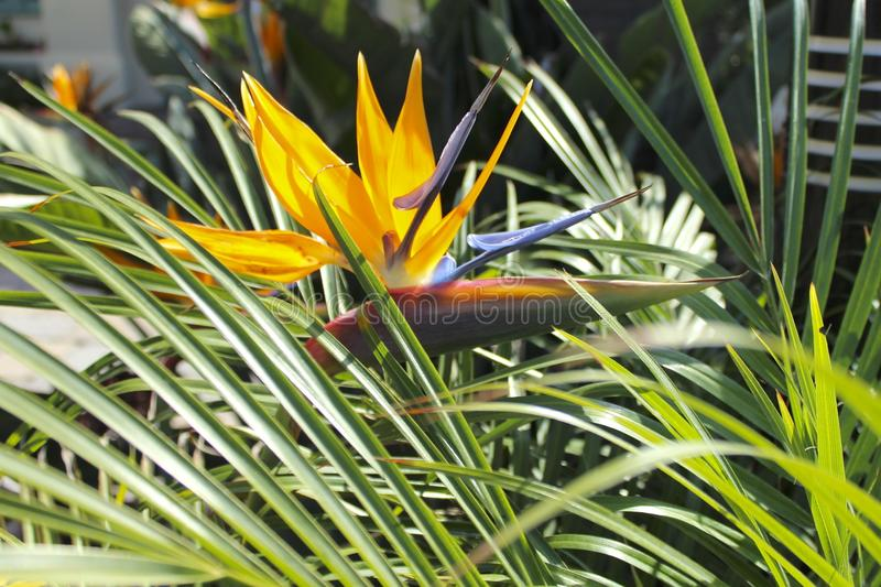 Bird of paradise flower. In the tall grass royalty free stock photography