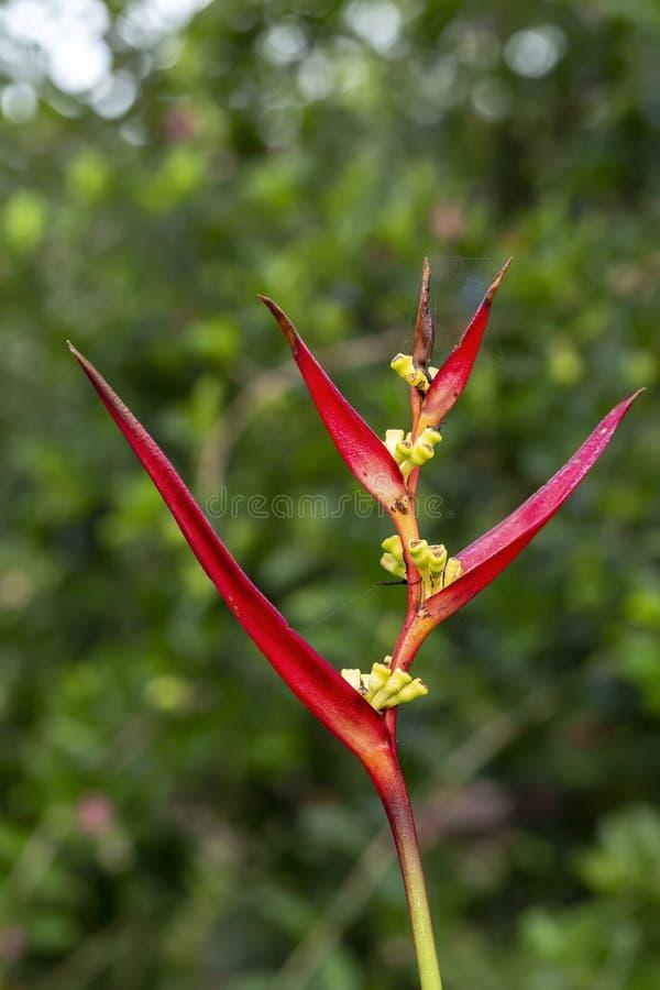 Bird of Paradise flower royalty free stock photography