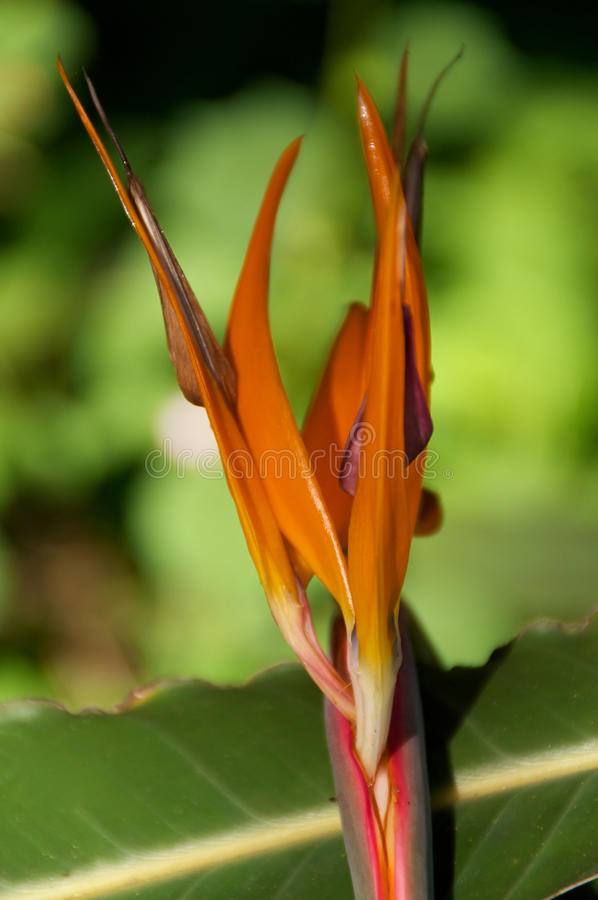 Download Bird of Paradise flower stock image. Image of outside - 36541971
