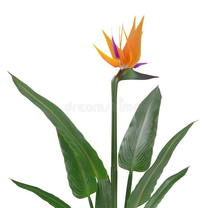 Bird of paradise flower on a white 3d illustration stock bird of paradise flower on a white background 3d illustration mightylinksfo