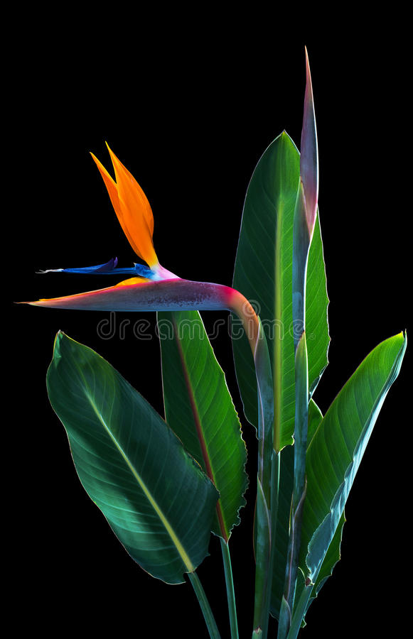 Bird of paradise flowers and leaves stock images
