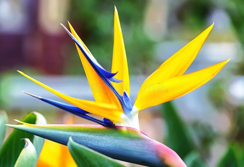 The bird of paradise flowers stock image