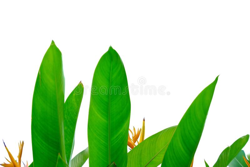 Bird of paradise leaves with yellow flower blossom on white isolated background for green foliage backdrop. Tropical tree leaves n white isolated background stock photos