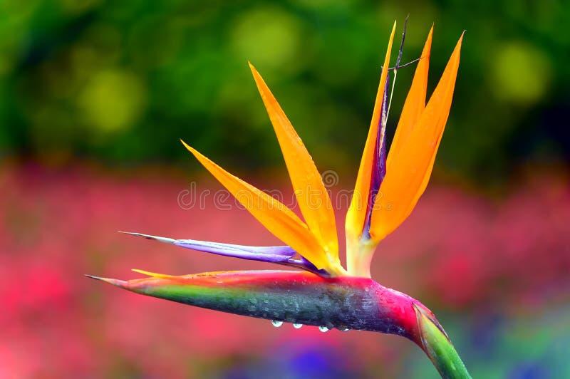 Bird of paradise after rain stock images