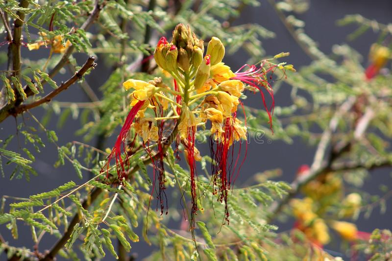 Bird of paradise shrub or Erythrostemon gilliesii flowering plant with flower heads composed of partially dried bright yellow peta stock images