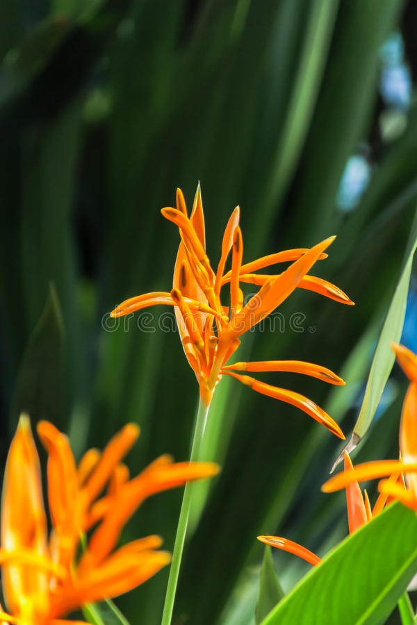 Bird of Paradise yellow flowers with a dark green leaf background in a garden. royalty free stock photography