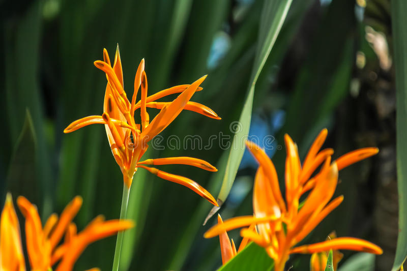 Bird of Paradise yellow flowers with a dark green leaf background in a garden. royalty free stock image