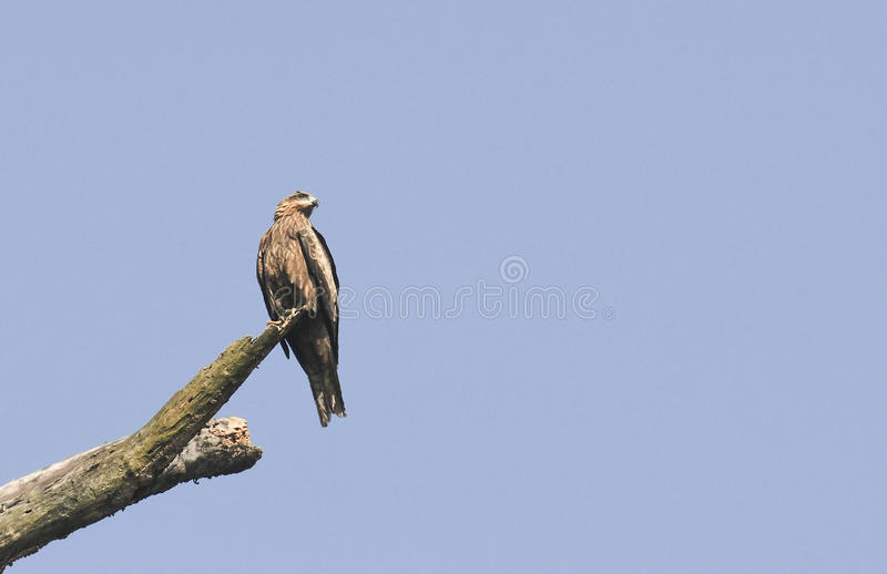 Bird, Pariah Kite - Milvus migrans royalty free stock photo