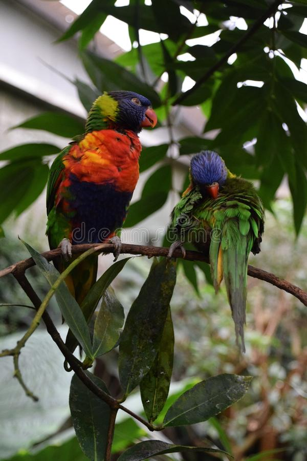 Bird, Parrot, Beak, Lorikeet royalty free stock photography