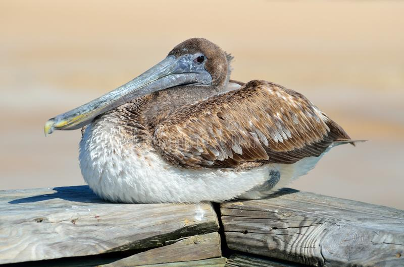 Bird, Pelican, Seabird, Beak stock images