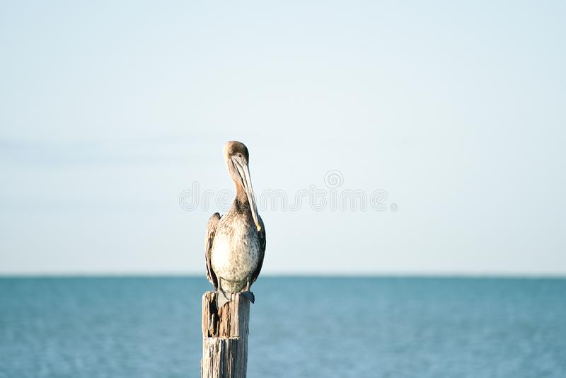 The bird pelican sits on an old wooden column. Calm morning on the shores of the Atlantic Ocean. Florida. USA. royalty free stock images