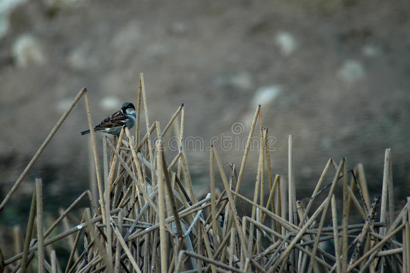 Bird perched on broken cattails royalty free stock photography