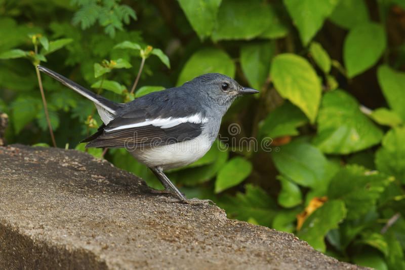 Bird perching on ledge, Nagpur royalty free stock photo
