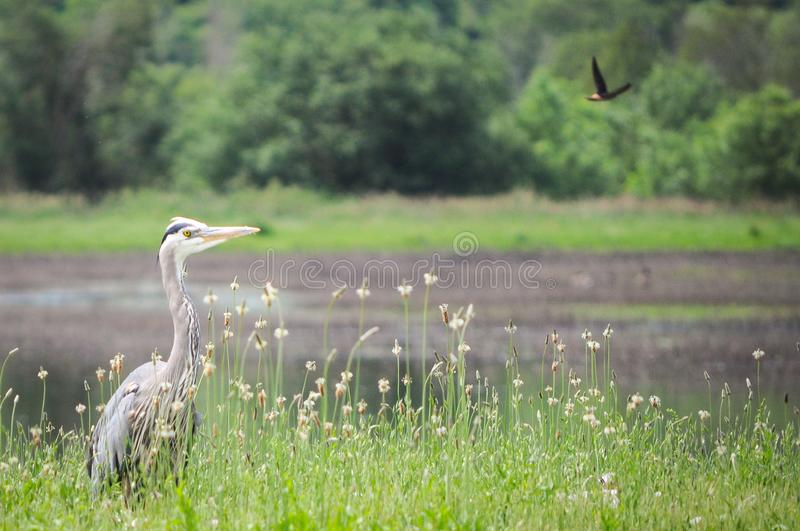 Great Blue Heron. Bird photography pacific NW stock images