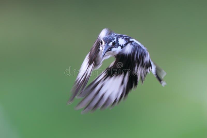 Bird Pied Kingfisher royalty free stock photography
