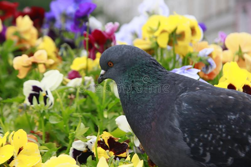 Bird. Pigeon in flowers in St. Petersburg stock photos