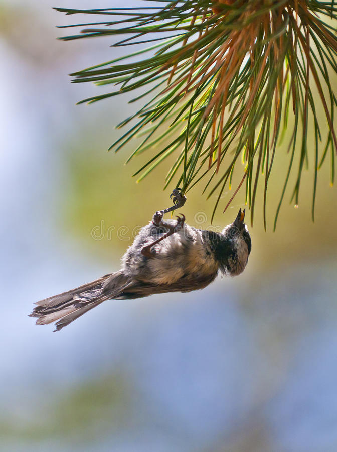 Download Bird On The Pine Tree Royalty Free Stock Photo - Image: 26881375