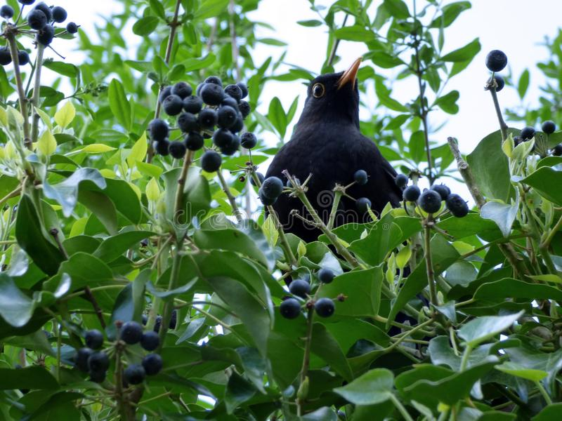 Bird, Plant, Fauna, Fruit royalty free stock photos